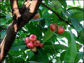 Le jamalac aussi appelé jambose est un arbre fruitier tropical pouvant atteindre...