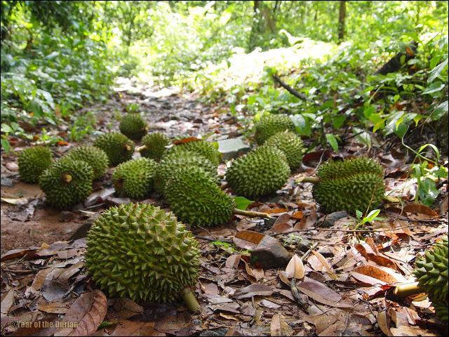 Le durian est un arbre tropical qui produit des fruits comestibles également appelés durians pouvant peser jusqu'à :