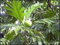 C'est le fruit de l'arbre à pain, arbre de la famille des Moracées. De quel continent est-il originaire ?