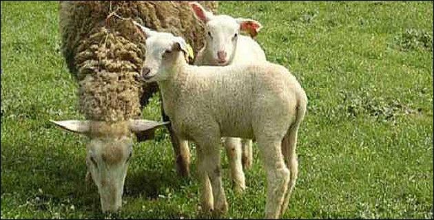 La fièvre catarrahale ovine a fat son retour en France, on l'appelle aussi ...