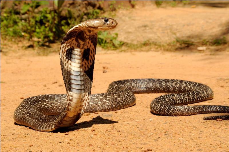 Le venin d'un cobra peut tuer un éléphant.
