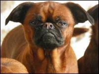Connaissez-vous la race de ce petit chien plus sympathique qu'il n'y paraît ?