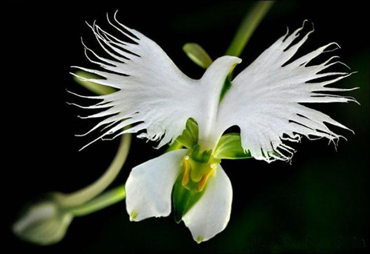Quel peut être le nom de cette fleur appelée aussi aigrette blanche ?