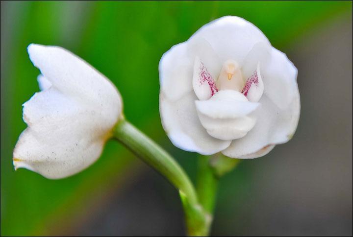 En observant bien le centre de cette orchidée quel peut être son nom ?