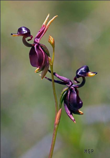 C'est une orchidée d'Australie : à l'aide de l'image trouvez son nom :