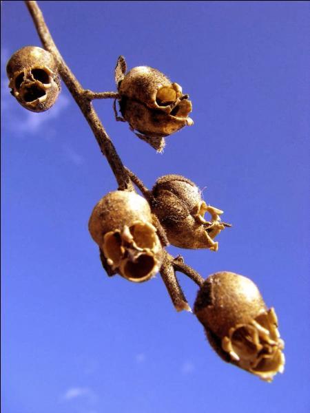 Ces fleurs sont de la famille des mufliers, à quoi ressemblent-t-elles quand elles fanent ?