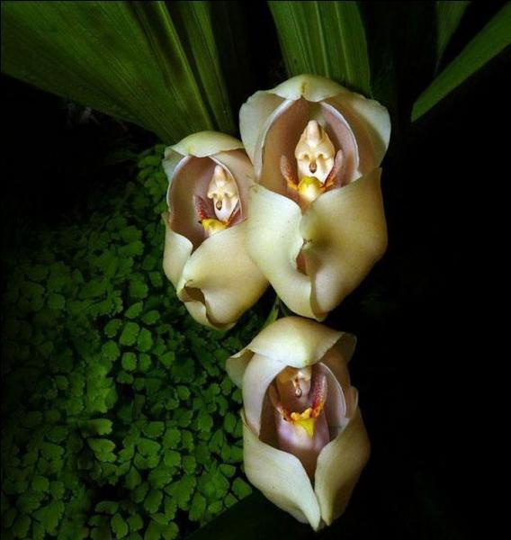 """Couramment appelées """"orchidées tulipes"""", à quoi vous font-elles penser ?"""