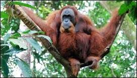 Ce grand primate reconnaissable entre tous, est menacé d'extinction. On le trouve dans une région précise du monde, un pays dont la capitale s'appelle ...