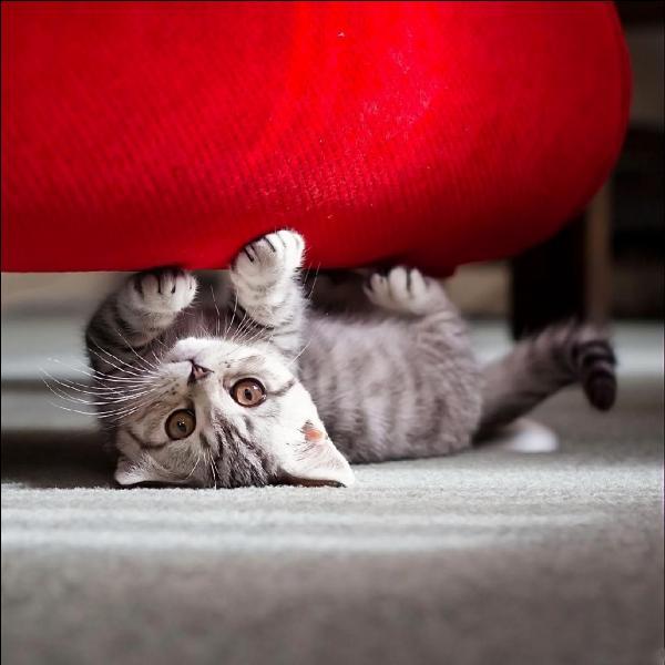 Grâce à quoi les chats retombent-ils toujours sur leurs pattes ?