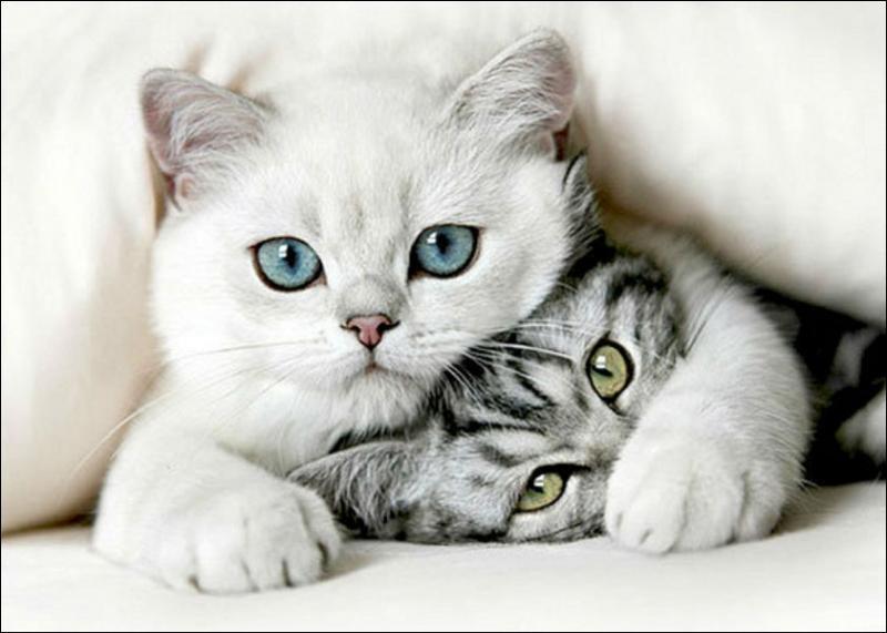 La surdité du chat est un phénomène spécifique au :
