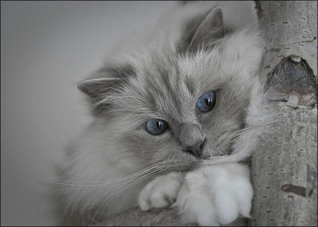 Quelle est la race de ce chat à poil mi-long, qui présente le même physique que le siamois par sa couleur, mais dont les pieds sont d'un blanc pur, comme s'il possédait des gants ?