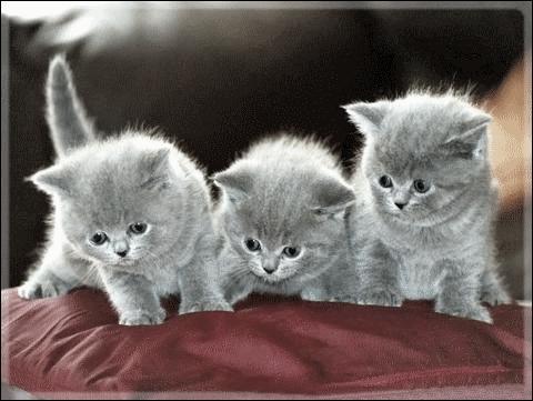 Combien y a-t-il environ de races de chats ?