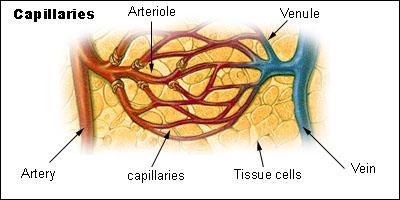 On distingue plusieurs types de capillaires sanguins. Combien ?