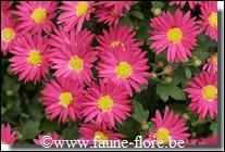 Voici des asters. (photo)