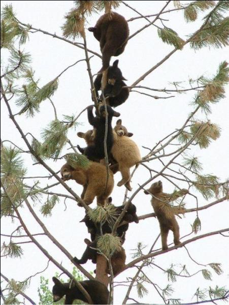 Vous vous sentez en danger ! Montez vite à un arbre, l'ours ne vous poursuivra pas !