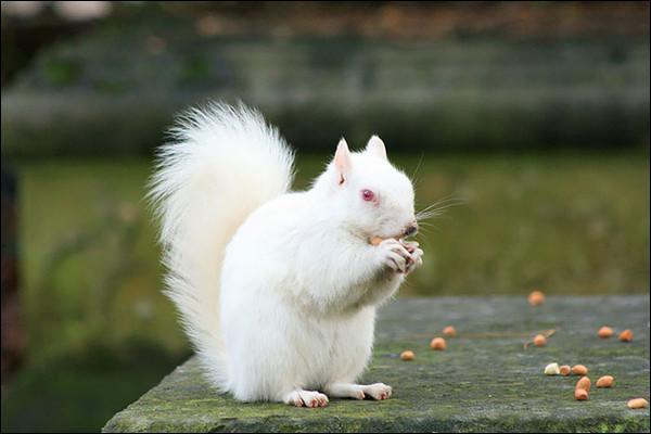 Existe-t-il des écureuils blancs ?