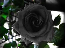 Nature - Quel est le seul pays où l'on cultive une rose qui devient noire en été ?