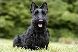 Trouvez le nom de la race du chien présentée sur la photo ?
