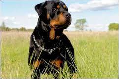 Comment s'appelle la race de ce chien qui a la réputation d'être un chien considéré comme dangereux ?