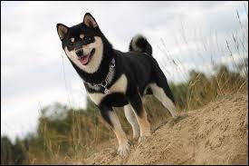 Quel est le nom de cette race de chien d'origine japonaise ?