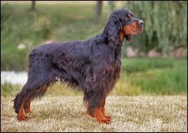 Quel est le nom de cette race de chien de chasse ?