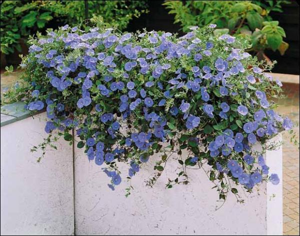 Quelles plantes enlacent les barreaux des fenêtres ?