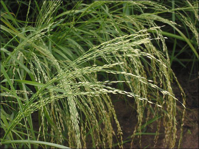 Mais point n'est question de blé dans ses régions. Une autre plante, bien plus ancienne et rustique, est utilisée : comment se nomme-t-elle ?