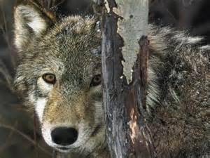 Se confier au loup