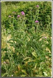 À l'origine, ce végétal était le symbole de la famille Stuart en Écosse. Leur devise était : « Personne ne me blesse impunément ». Quelle est cette plante épineuse ?