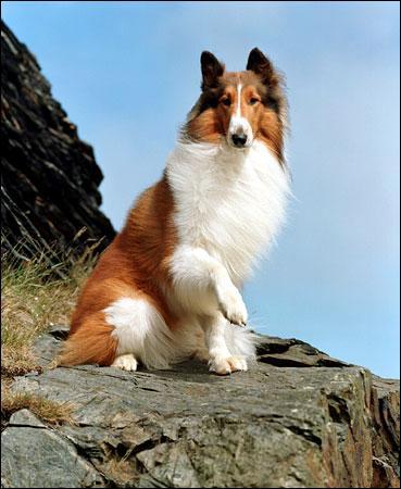 """Quelle est la race du chien dans """"Lassie"""" ?"""