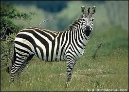 Les zèbres sont des animaux blancs à rayures noires.