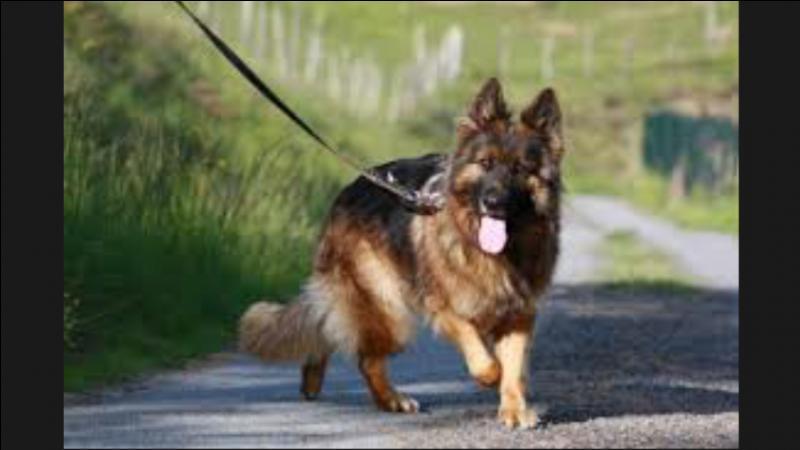 Quel est le berger allemand à poil long (Altdeutsche Schäferhund) ?