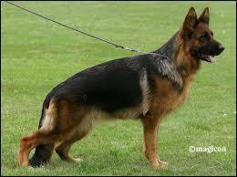 Quel berger allemand a une taille correcte ?