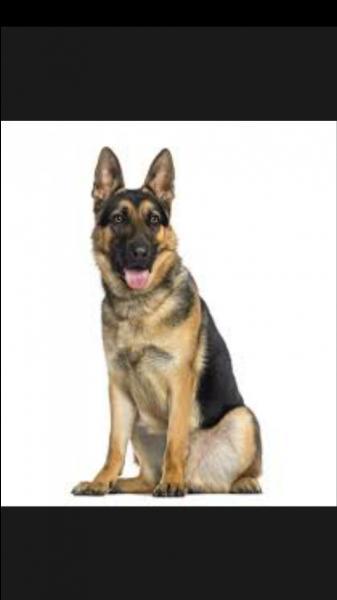 Le berger allemand est un chien...