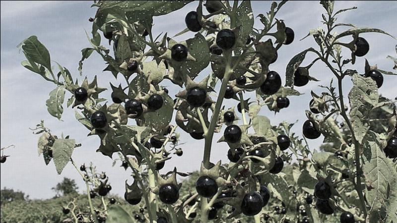 Quelle est cette plante, de la famille des Solanacées, dont l'ingestion vous fera mourir ?