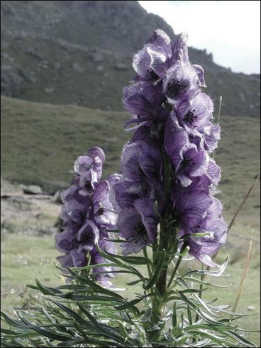 La plante en photo est une des plus dangereuses de la flore européenne, ingérer 2 à 3 grammes de ses racines vous assure d'en mourir :