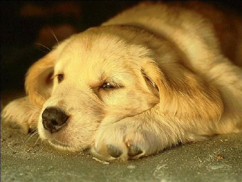 Comment se transmet la maladie de Carré chez le chien ?