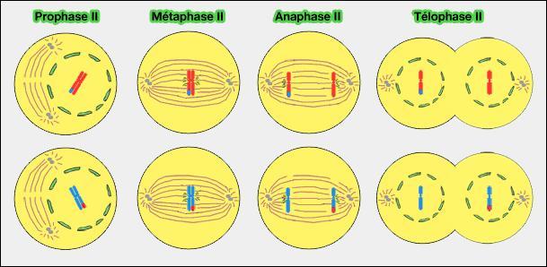 Quel processus de division cellulaire des cellules sexuelles est à l'origine d'anomalies comme la trisomie 21 ?