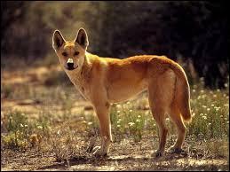Quel est le chien qui est présent en Australie ?
