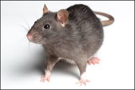 De nos jours, le rat a plutôt une mauvaise réputation. Son rôle dans les grandes épidémies européennes y est certainement pour quelque chose. Durant quel siècle la peste noire, dont la diffusion fut grandement aidée par les rats, décima-t-elle l'Europe ?