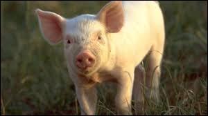 Tout n'est pas forcément bon dans le cochon, le porcin peut nous transmettre des maladies. C'est par exemple l'un des animaux pouvant provoquer la maladie du ver solitaire.Comment faire pour attraper le ver solitaire à partir d'un cochon contaminé ?