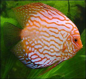 Même le gentil petit poisson qui nage tranquillement dans son bocal peut nous transmettre des maladies. Pour être plus précis, c'est plutôt l'eau dans laquelle évolue le poisson qui est responsable. Laquelle de ces bactéries peut nous contaminer via l'eau des aquariums ?
