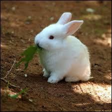 On ne dirait pas mais sous ses airs innocents, le lapin et son cousin le lièvre, peuvent également nous transmettre une maladie : la tularémie.Quel agent infectieux est à l'origine de la tularémie ?