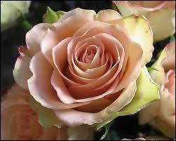 Quand a-t-on commencé à utiliser la rose en parfumerie ?
