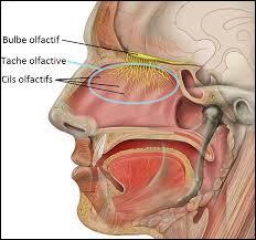 Lequel de ces groupes nominaux désigne le tissu spécialisé dans l'odorat, à l'intérieur des fosses nasales ?