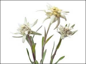 J'espère que la bonne étoile vous aura tous guidés. Selon une des nombreuses légendes et symboliques liées à l'edelweiss, que représente également cette fleur ?