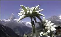 L'edelweiss est un mot de genre masculin.