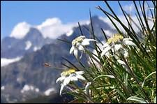 Y a-t-il des edelweiss autres que de couleur blanche ?