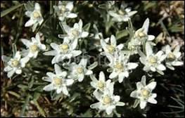 Quel est le biotope européen dans lequel l'edelweiss s'épanouit ?