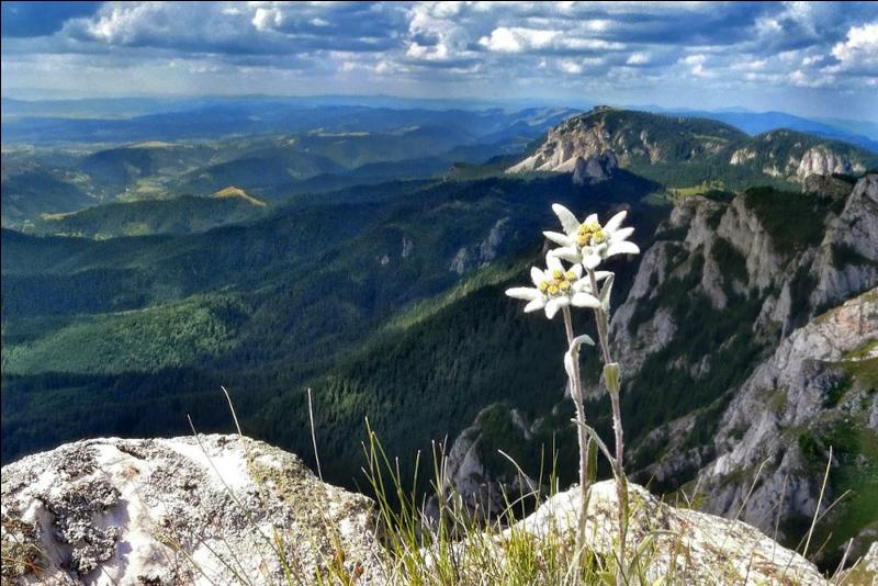 L'edelweiss est-il seulement originaire d'Europe ?